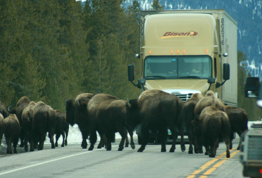 Bison on road infront of tractor