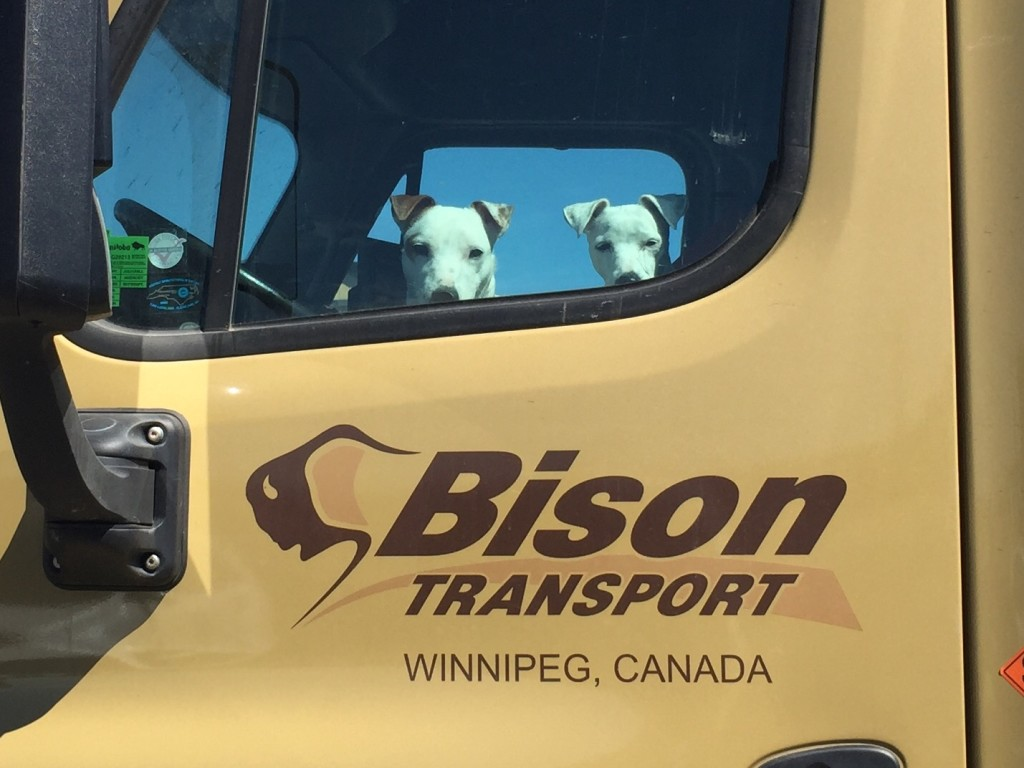 dogs sitting in Bison Transport truck